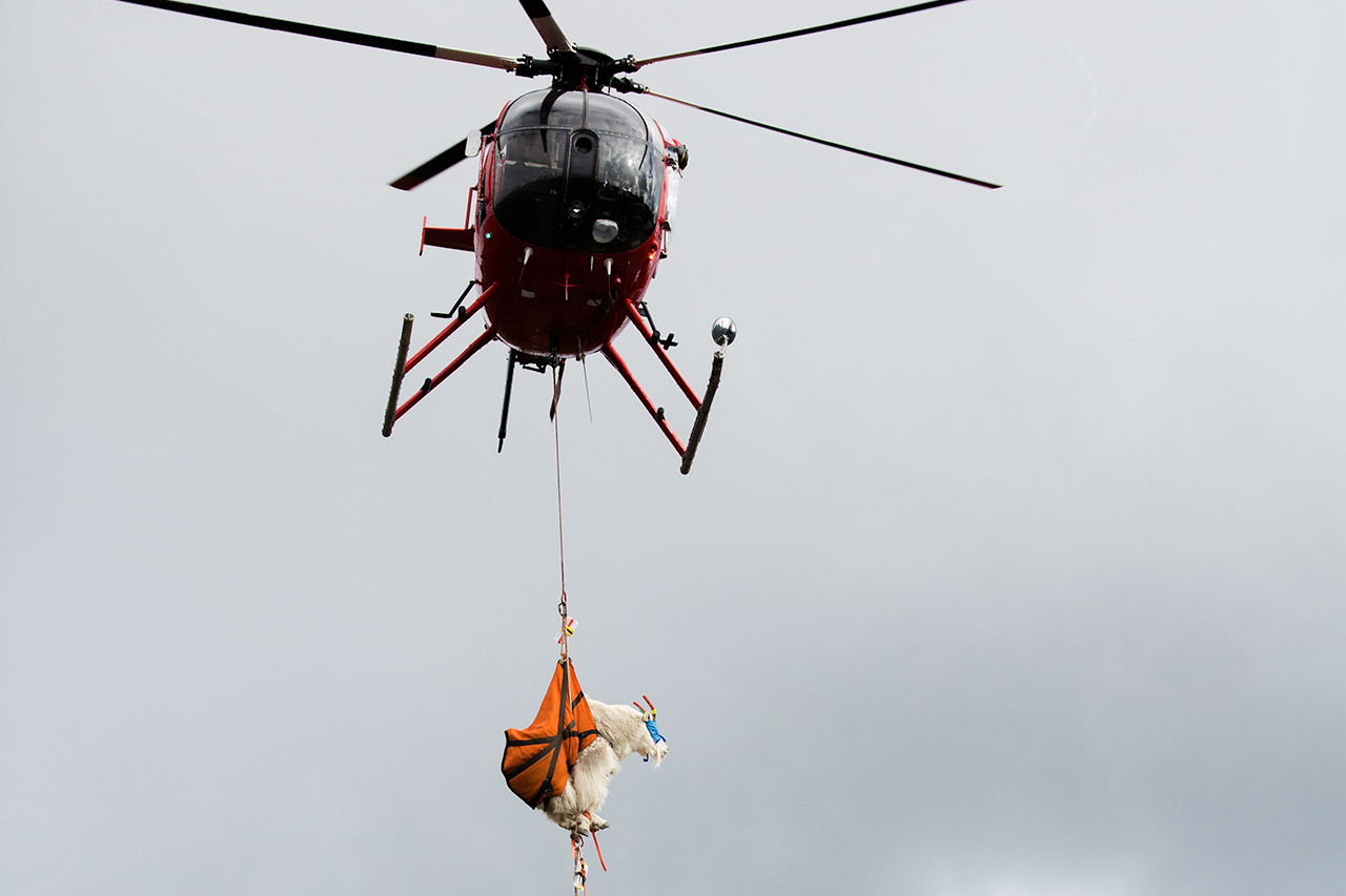 Opioid darts, helicopters, refrigerator trucks: How to move a goat from one mountain range to another
